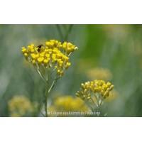 HE  Hélichryse italienne (Helichrysum italicum) 5ml