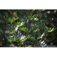 HE Lentisque Pistachier (Pistacia lentiscus) 5ml