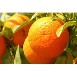 HE Orange douce bio (Citrus sinensis) 10ml