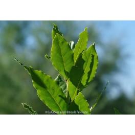 HE Laurier Noble (Laurus nobilis) 5ml